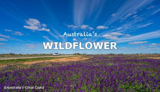 オーストラリアのワイルドフラワー